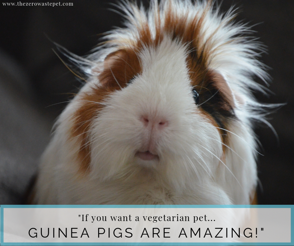 The Complete Guide to Zero-Waste Pet Food: Guinea Pigs make wonderful vegetarian pets!